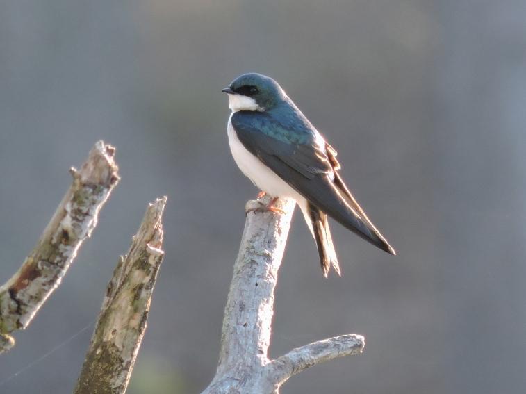 treeswallow1