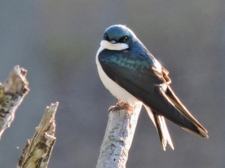 treeswallow4