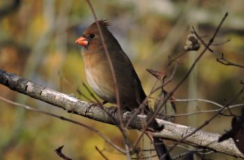 cardinal-2a