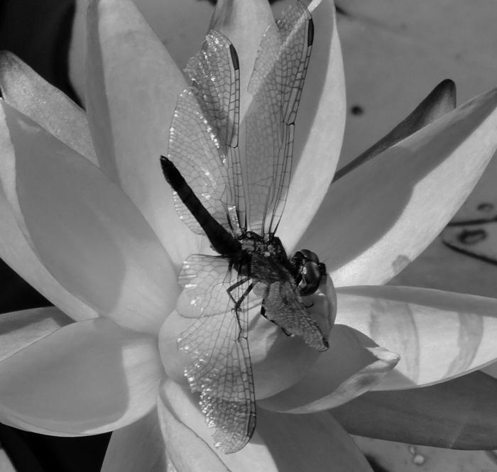 dragonflymacrobw