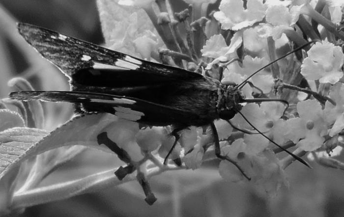 macrobutterflybw