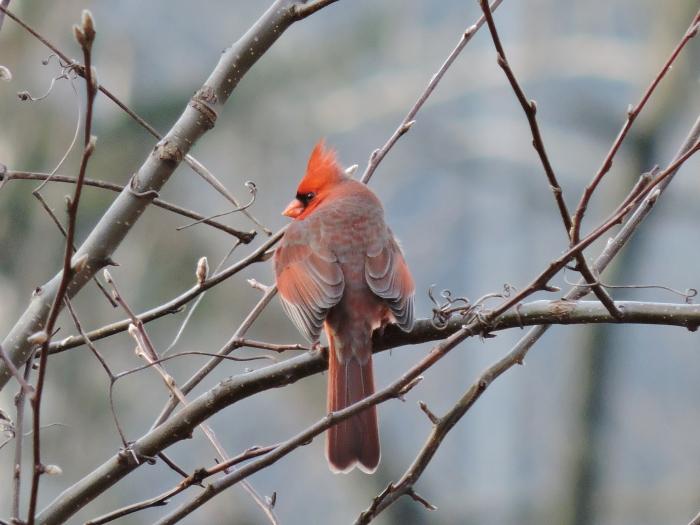 cardinalbushnbl
