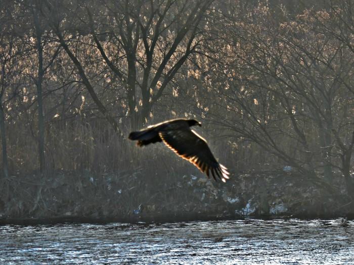 eagleflyingredo