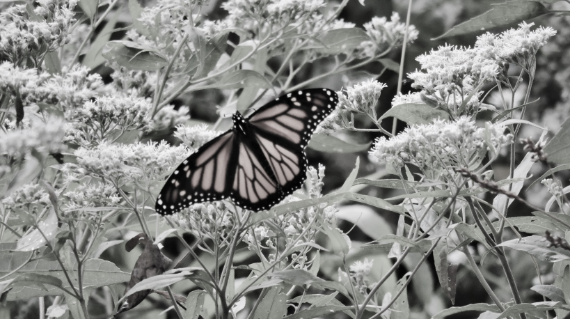 butterflyonbudbw