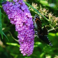squarepurplebutterfly
